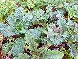 Lacinato Rainbow Kale - 50 Seeds