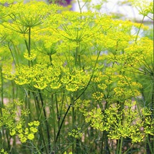Outsidepride Fennel Herb Seed by Unknown