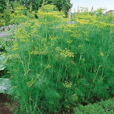 Dill Bouquet Certified Organic Heriloom Seeds 600 Seeds