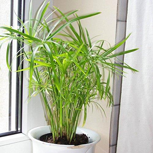 - 200 Cyperus alternifolius Seeds, Umbrella Plant Seeds, Papyrus Grass Seeds