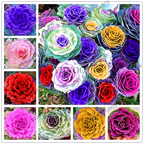 100 pcs Cabbage Flowers Kale plantas Organic Edible Delicious Ornamental Plants, Seeds Plant for Home Garden: Mix