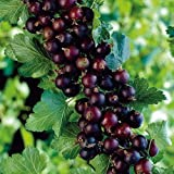 "Jostaberry Bush - Cross Between Gooseberry & Black Currant - Potted-Sweet-4"" Pot"