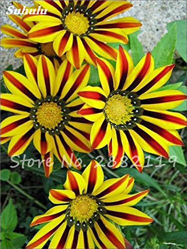 Mixed Giant Sunflower Seeds 20 Pcs Russian Sunflower Seeds Helianthus Annuus Ornamental Bonsai For Home & Garden Planting 23 (Best Time To Plant Sunflower Seeds)