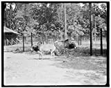 Vintography 24 x 30 Giclee Unframed Photo Zebu Sacred Oxen India The Zoo Belle Isle Park Detroit Mich 1918 Detriot Publishing co. 46a