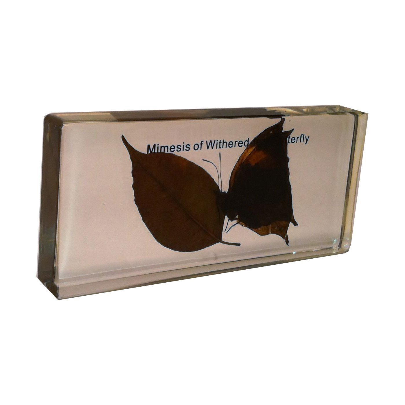 Mimesis of a Withered-leaf Butterfly
