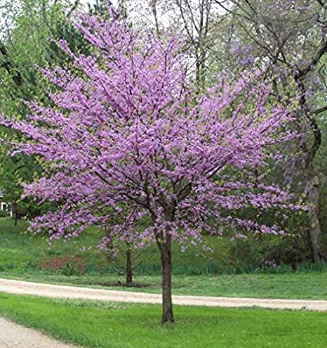 Amazon Com 3 Gallon Redbud Tree Red Buds Open Into Beautiful
