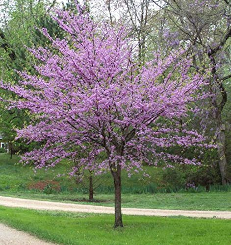 Redbud Flowering Trees - (3 Gallon) REDBUD Tree, red buds open into beautiful purple pink flowers appearing all over the tree and even the trunk in early spring