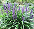5 LILYTURF Liriope Muscari aka Big Blue Lily Turf / Monkey Grass Flower Seeds