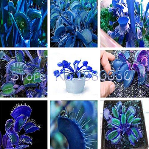 Seeds Shopp Extreme Blue flytrap flytrap seeds potted bonsai plant seeds Carnivorous plants seeds garden balcony 120PCS Cheap!
