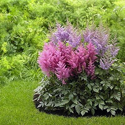 Bio Garden - Rare 50pcs Astilbe chinensis Collection Flower Seeds Easy to Grow, Exotic Flower Seeds Hardy Perennial Garden : Garden & Outdoor