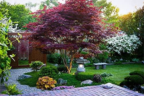 Amazon Com Japanese Red Maple Tree 2 3 Feet Tall Maple Trees