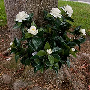24 Inch Outdoor Artificial Gardenia in White 36