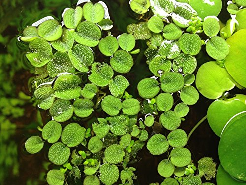 12 Water Spangles (Salvinia Minima), Live Aquarium/Aquatic/Floating/Pond/Freshwater Plant by G&Z