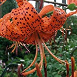 Splendens Orange Tiger Lily - 2 Bulbs 14/16 cm