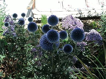 3 Plants Of Echinops Banaticus Blue Glow Globe Thistle
