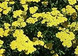 Moonshine Yarrow Perennial - Achillea - NEW! - Quart Pot