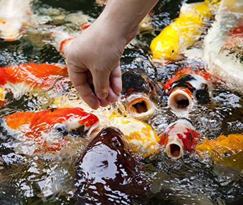 Koi - 14 Live Butterfly Koi Fish for Pond, Fish Tank or Aquarium | Lot of 14 Butterfly Fin Grade A Quality Koi (4-5 - Fedex One Delivery Day