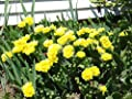 Prickly Pear Cactus Plant w 2-3 Pads – Winter Hardy - Perennial