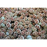 9GreenBoxs: Living Stones 10 Seeds- Lithops- Succulents!