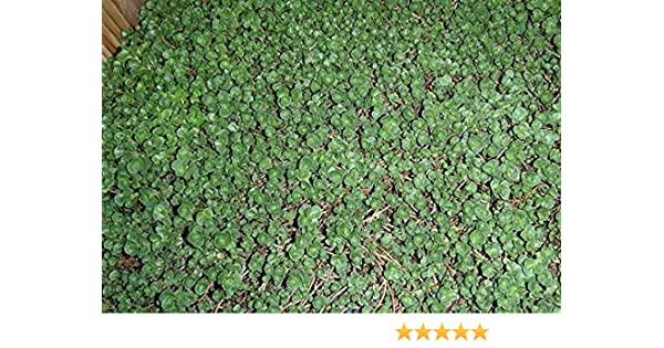 Amazon.com : John Creech Sedum 72 Cell Plug Flat Groundcover Plants