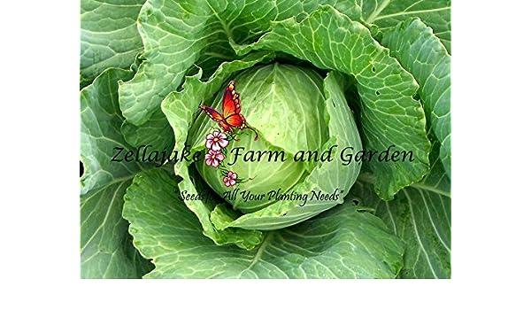 Cabbage Copenhagen Market Early Seed Bulk by Zellajake Sprouting or Garden 165C