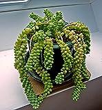 Donkey Tail Hanging, Burro's Tail aka Sedum morganianum Live Plant - Indoor Live Plant Fit 1QRT Pot