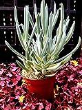 Details About Blue Chalk Stick Succulent Plant (KLEINIA REPENS OR Senecio Serpens)