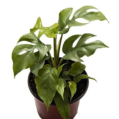 "AMERICAN PLANT EXCHANGE Rhaphidophora Tetrasperma AKA Mini Monstera/Ginny Live Plant, 6"" Pot, Ultra Rare Indoor Air Purifier : Garden & Outdoor"