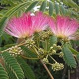 10 Seeds Albizia julibrissin Persian Silk Tree
