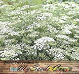 The Dirty Gardener Ammi Majus Queen Anne's Lace Wildflowers - 1 Ounce