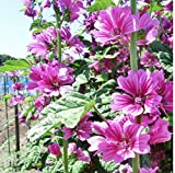 30+ Seeds of Malva sylvestris - French Hollyhock 'Zebrina'. Edible & Striking striped blooms!