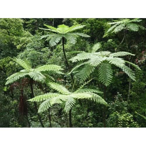 Lacy Tree Fern (Cyathea Cooperi) - 25+ Fresh Spore (seeds) - Hardy Fast Growing! free shipping
