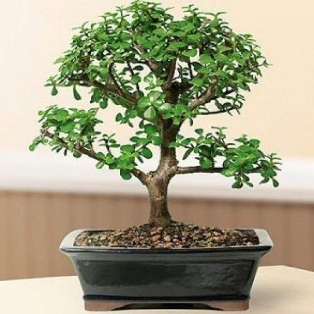 Bonsai Tree Baby Jade Bonsai Tree 12 Years Old Best Gift Plant A6 by owzoneplant (Image #1)