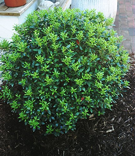 "Compacta Inkberry Holly - 4"" pot - Ilex glabra compacta"