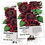 Seed Needs, Red Sun Sunflower (Helianthus annuus) Twin Pack of 120 Seeds Each