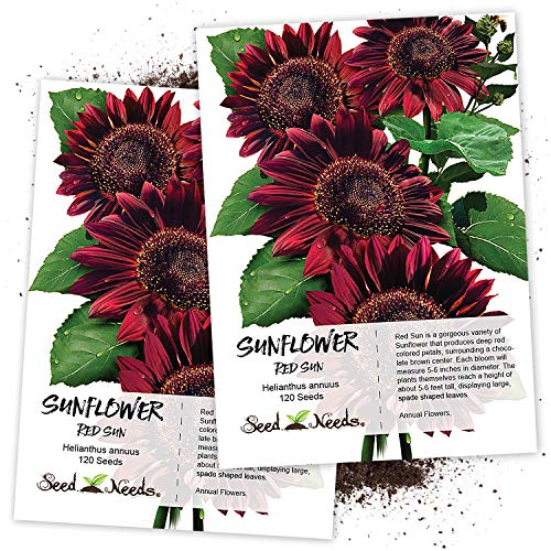 Seed Needs, Red Sun Sunflower (Helianthus annuus) Twin Pack of 120 Seeds Each ()