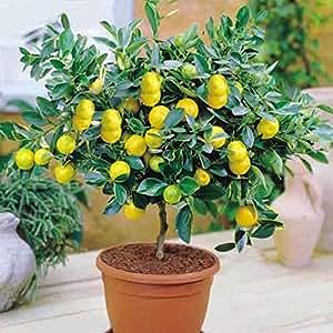 50 piezas / bolsa de semillas de árboles de limón alta tasa de supervivencia bonsai fruta de semilla para las semillas de flor de jardín de Bonsai