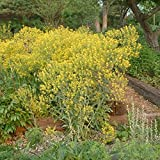 Woad Seeds (Isatis tinctoria) 20+ Rare Dye Plant Medicinal Herb Seeds in FROZEN SEED CAPSULES for the Gardener & Rare Seeds Collector - Plant Seeds Now or Save Seeds for Years