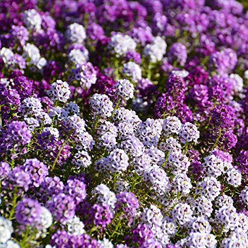 Outsidepride Alyssum Flower Seed Mix  2000 Seeds