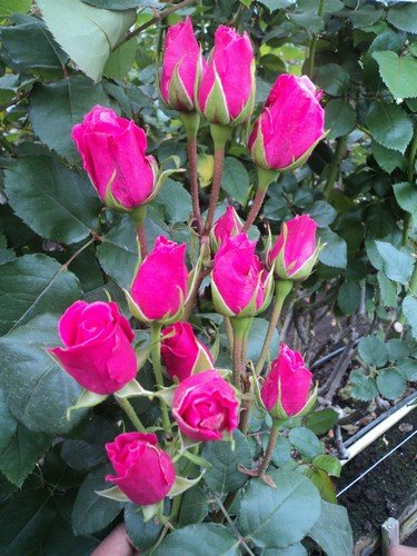 120 Real Fresh Spray Rose, Hot Pink Folies by FarmDirect