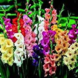 GLADIOLUS, BULB (FIVE PACK) PASTEL MIXED , MIXED PERENNIAL GLADIOLUS BULBS, FLOWERS