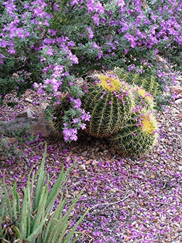 Home Comforts Framed Art for Your Wall Texas Ranger Leucophyllum Purple Sage 10x13 Frame -