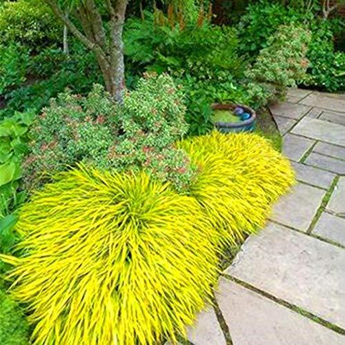 Seed House-KOUYE 100pcs Blue-Winged Ornamental Grass Seeds Landscapes Hedgehog-Like Grass Hardy Perennial Stone Grass Ornamental Plants, Garden Plants Perennial