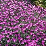 Dianthus- (Dianthus Gratianopolitanus) - Cheddar Pink - 50 seeds