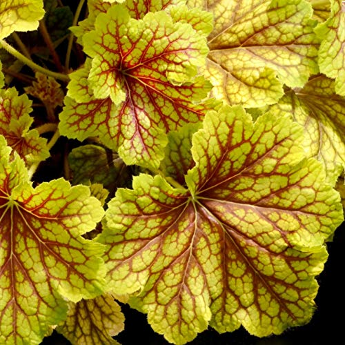(Heuchera Red Lightning Villosa Hot Coral Bells 2.5