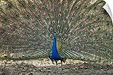 Canvas On Demand Wall Peel Wall Art Print entitled Peacock displaying its plumage Bandhavgarh National Park Umaria District Madhya Pradesh India