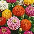 Everwilde Farms - Lilliput Mix Zinnia Wildflower Seeds - Gold Vault