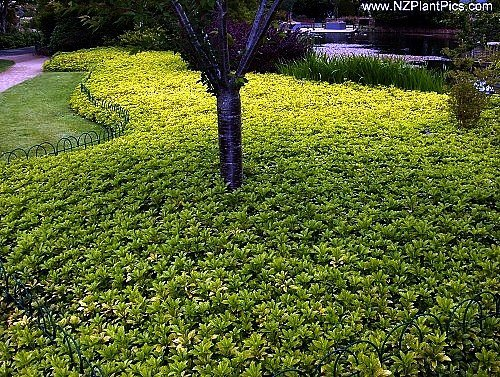 Japanese Spurge 24 Plants - Pachysandra - Hardy Groundcover - 2 1/4'' Pot