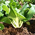 Dwarf Bok Choy Or Baby Bok Choy (2000 Seeds) - Heirloom Vegetable, Organic