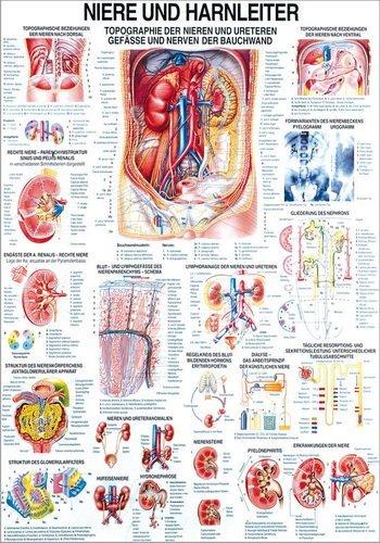 Ruediger Anatomie TA24LAM Niere und Hernleiter Tafel, 70 cm x 100 cm, laminiert